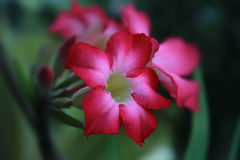 Désert Rose photos stock