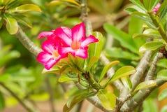 Désert Rose Photo libre de droits