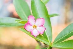 Désert Rose Flowers Photos libres de droits