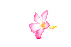Désert Rose Flowers, fond blanc Image stock