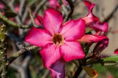 Désert Rose Flowers, lis d'impala Image libre de droits