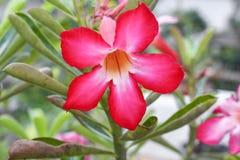 Désert Rose ou fleur de Lily Tropical d'impala sur un arbre Photo libre de droits
