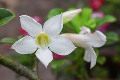 Désert Rose ou fleur de Lily Tropical d'impala sur un arbre Photographie stock