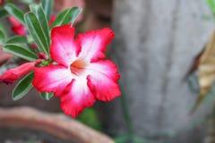 Désert Rose ou fleur de Lily Tropical d'impala sur un arbre Image stock