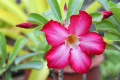 Désert Rose ou fleur de Lily Tropical d'impala sur un arbre Photo stock