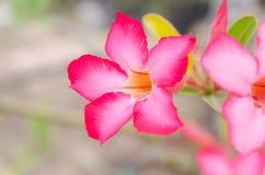 Désert rose ou Ping Bignonia Photo libre de droits