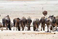 Déserts et nature bleus de la Namibie de gnou en parcs nationaux images stock