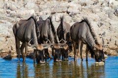 Déserts et nature bleus de la Namibie de gnou en parcs nationaux photos libres de droits
