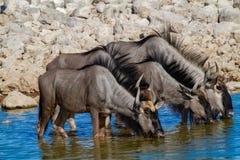 Déserts et nature bleus de la Namibie de gnou en parcs nationaux image libre de droits
