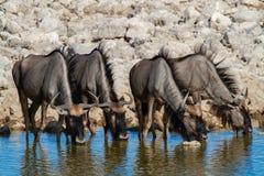 Déserts et nature bleus de la Namibie de gnou en parcs nationaux photo stock