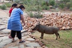 Déserts et nature communs de la Namibie de phacochère en parcs nationaux image stock