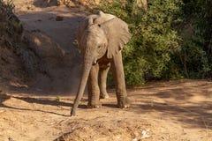 Déserts et nature d'éléphant de désert en parcs nationaux photos libres de droits