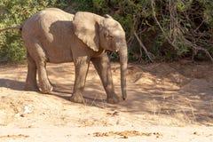 Déserts et nature d'éléphant de désert en parcs nationaux image stock