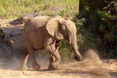 Déserts et nature d'éléphant de désert en parcs nationaux images stock