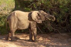 Déserts et nature d'éléphant de désert en parcs nationaux photographie stock libre de droits