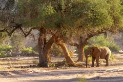 Déserts et nature d'éléphant de désert en parcs nationaux photographie stock