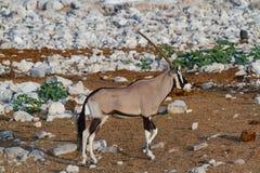 Déserts et nature de la Namibie d'oryx de Gemsbok en parcs nationaux photo libre de droits