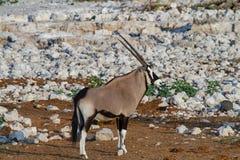 Déserts et nature de la Namibie d'oryx de Gemsbok en parcs nationaux images stock