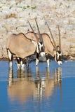 Déserts et nature de la Namibie d'oryx de Gemsbok en parcs nationaux photos stock