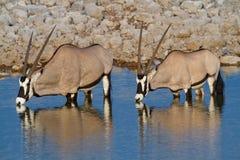 Déserts et nature de la Namibie d'oryx de Gemsbok en parcs nationaux images libres de droits