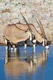 Déserts et nature de la Namibie d'oryx de Gemsbok en parcs nationaux image libre de droits