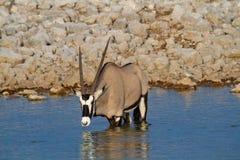 Déserts et nature de la Namibie d'oryx de Gemsbok en parcs nationaux photos libres de droits