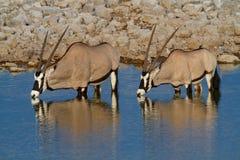 Déserts et nature de la Namibie d'oryx de Gemsbok en parcs nationaux photographie stock libre de droits