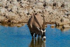 Déserts et nature de la Namibie d'oryx de Gemsbok en parcs nationaux image stock