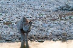 Déserts et nature mammifères africains de rhinocéros en parcs nationaux photo stock