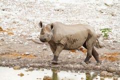 Déserts et nature mammifères africains de rhinocéros en parcs nationaux photographie stock