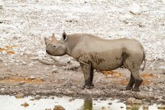Déserts et nature mammifères africains de rhinocéros en parcs nationaux photos libres de droits
