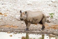 Déserts et nature mammifères africains de rhinocéros en parcs nationaux image stock