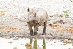 Déserts et nature mammifères africains de rhinocéros en parcs nationaux images stock