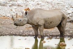 Déserts et nature mammifères africains de rhinocéros en parcs nationaux photographie stock libre de droits