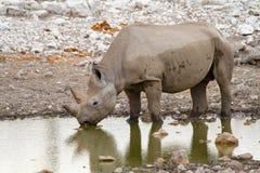 Déserts et nature mammifères africains de rhinocéros en parcs nationaux image libre de droits