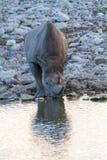 Déserts et nature mammifères africains de rhinocéros en parcs nationaux photo libre de droits