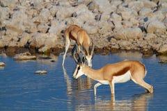 Déserts et nature mammifères africains de springbok en parcs nationaux image stock