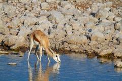 Déserts et nature mammifères africains de springbok en parcs nationaux photos stock