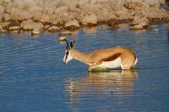 Déserts et nature mammifères africains de springbok en parcs nationaux photo libre de droits