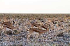 Déserts et nature mammifères africains de springbok en parcs nationaux photo stock