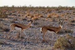 Déserts et nature mammifères africains de springbok en parcs nationaux photos libres de droits
