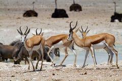 Déserts et nature mammifères africains de springbok en parcs nationaux photographie stock libre de droits