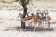 Déserts et nature mammifères africains de springbok en parcs nationaux photographie stock