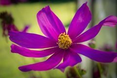 Détail étroit d'une fleur pourpre photographie stock libre de droits