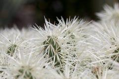 Détail blanc de cactus Photographie stock libre de droits