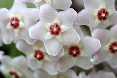 Détail blanc de fleur de cire Photo stock
