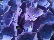 Détail bleu de fleur d'hortensia Image libre de droits