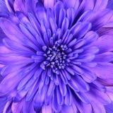 Détail bleu de plan rapproché de tête de fleur de chrysanthemum Photographie stock libre de droits
