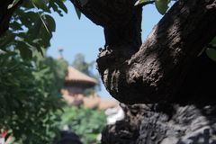 Détail d'écorce sur la branche de l'arbre avec la pagoda chinoise à l'arrière-plan image libre de droits