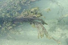 détail d'élodée dans un canal d'eau douce Photos stock
